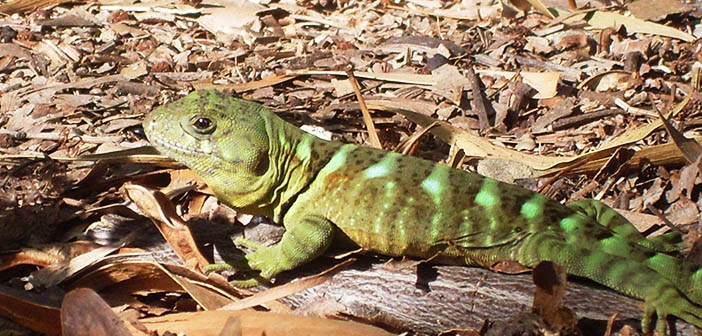 Iguana Reserva Nonguén