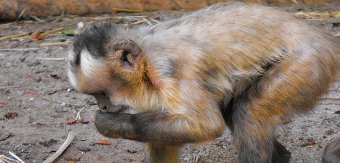 Mono Zoológico Concepción