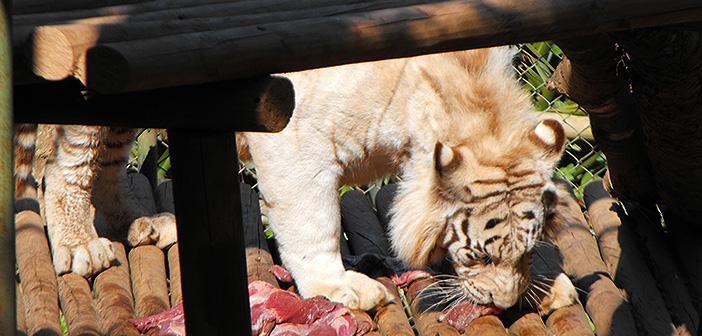 Tigre Zoológico Concepción